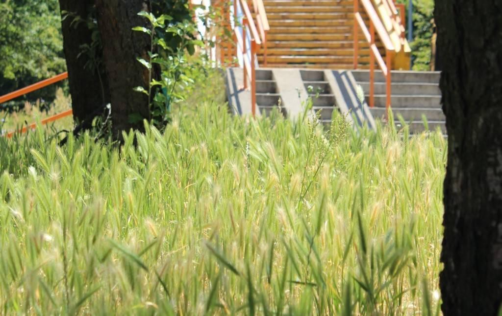 Miasto ogranicza koszenie traw